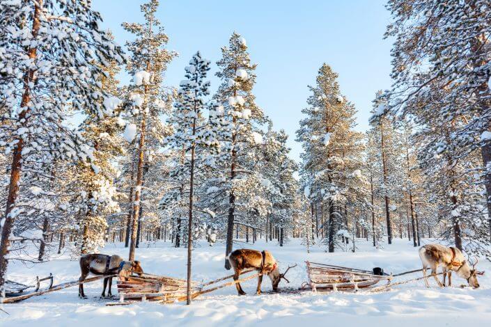 Renar ståendes i Lapplands snöiga skogar