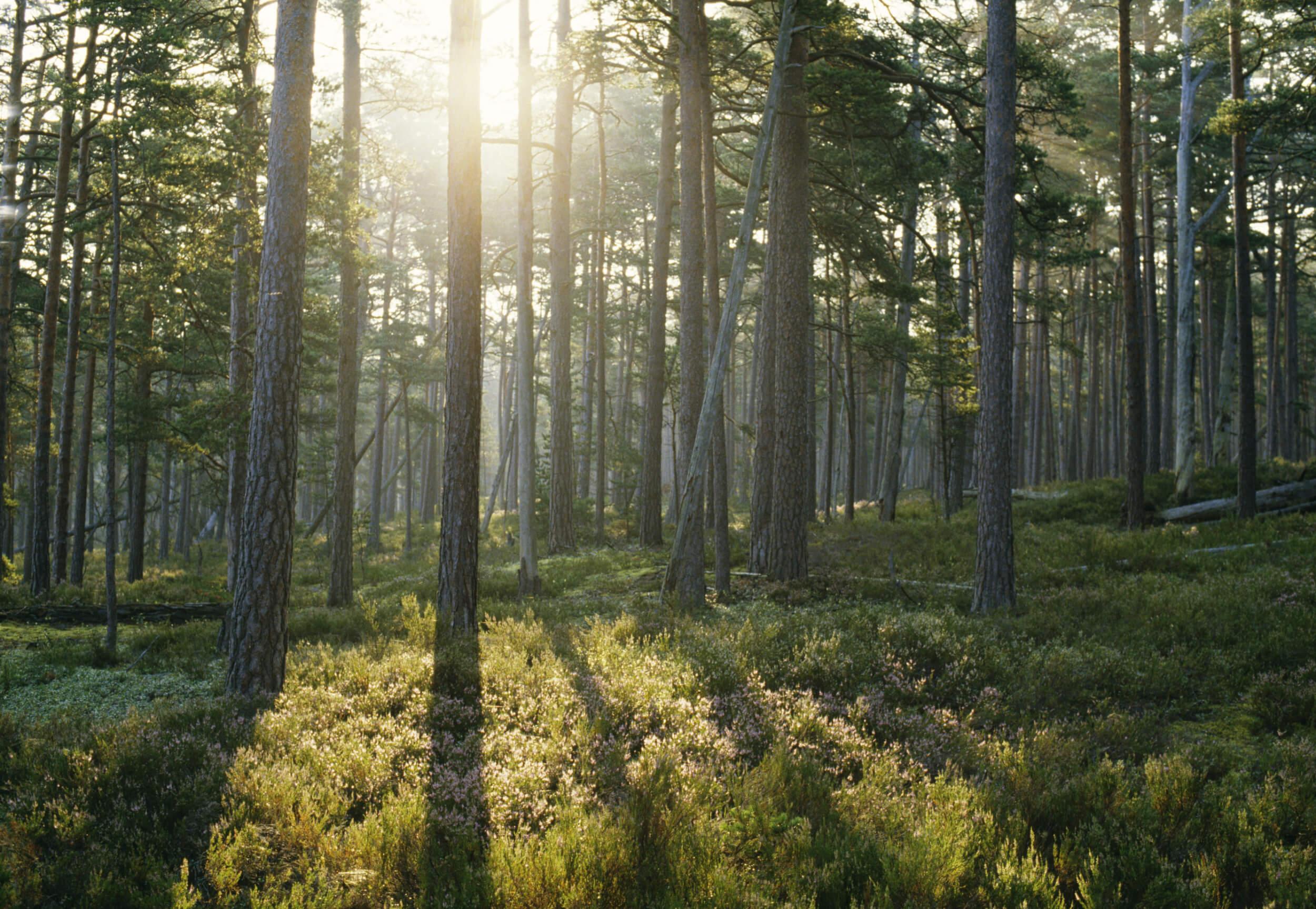 Svensk grön barrskog